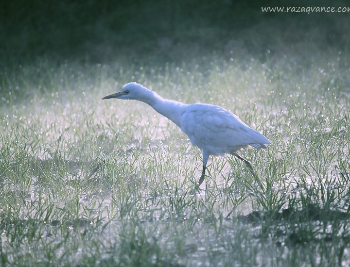 EGRETS IN THE WINTER MORNING