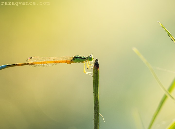 Spectacular Beauty Of Damselfly In Nature Photography