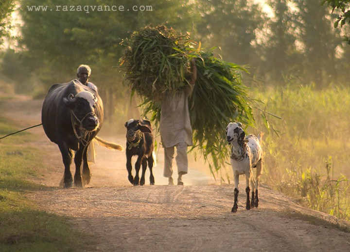 Home Bound Farmers In An Asian Village