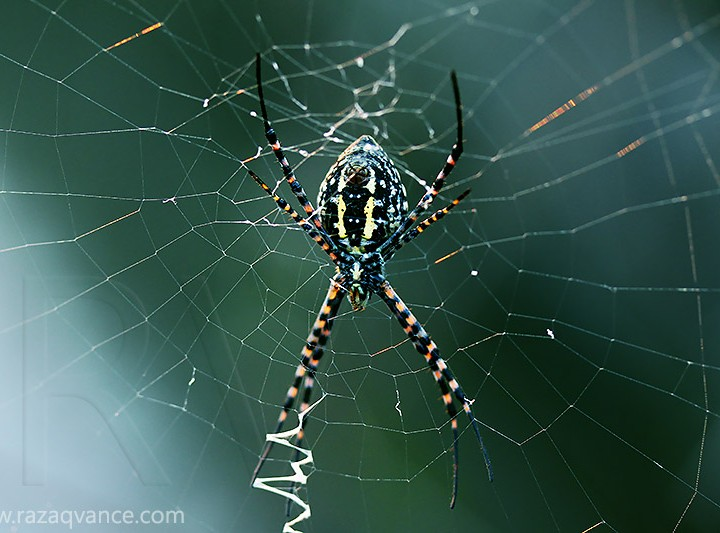 Nature Photography And The Beauty Of A Signature Spider