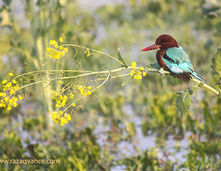 Birds Photography And Incredible Beauty Of Kingfisher
