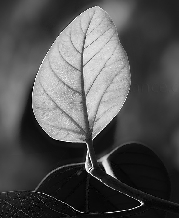 BLACK AND WHITE PHOTOGRAPHY AND LEAF BUD OF A FIG TREE
