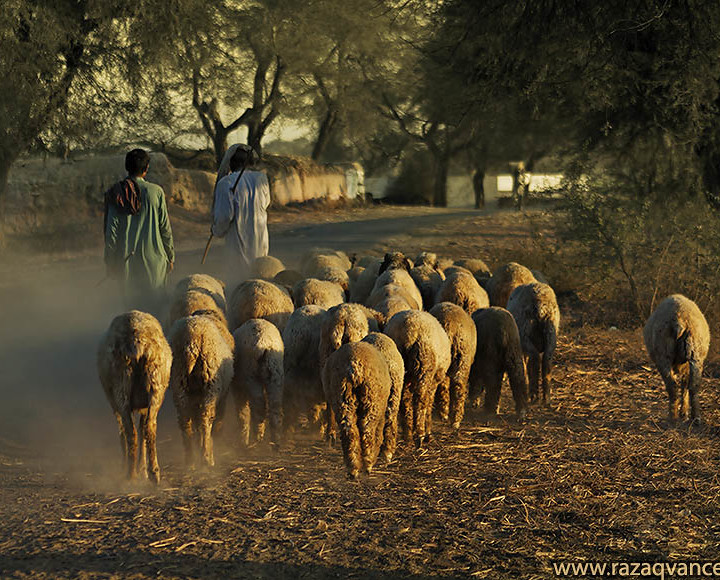 Shepherds Are Going Back To Home