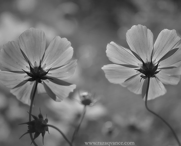 Fine Art And Black And White Photography Of Cosmos Flower