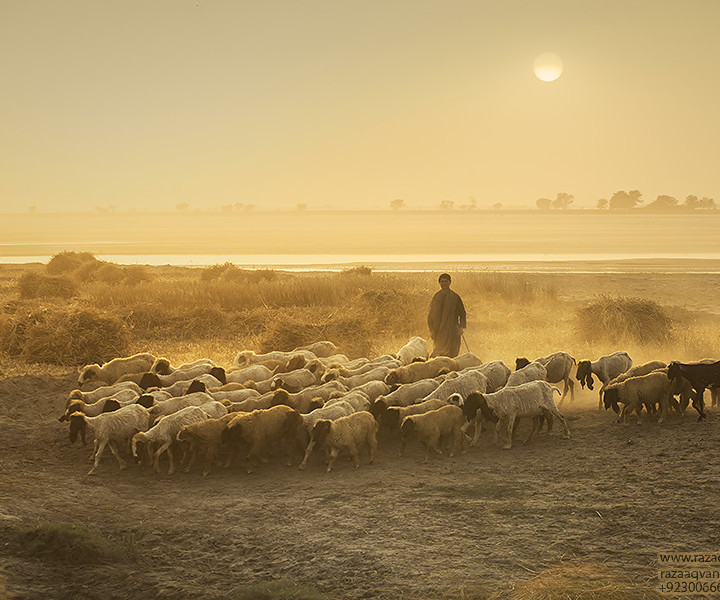 Golden Hour Photography And Beauty Of Simple And Active  Life Of Shepherds