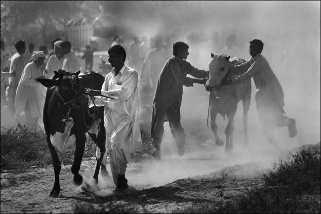 Bull Cart Race And Documentary photography in Black and White