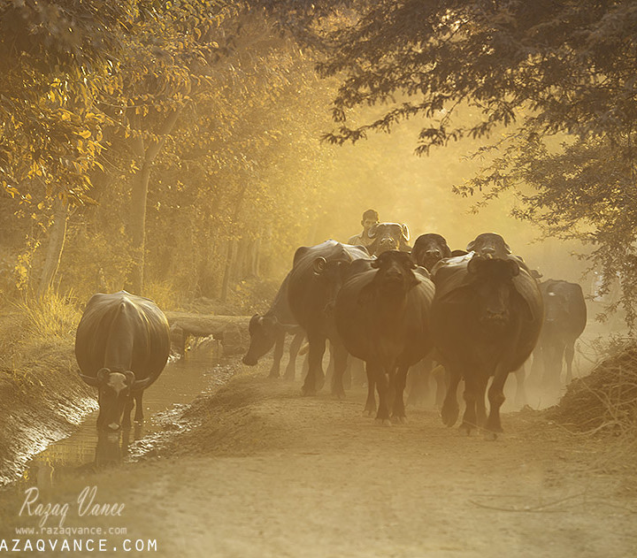 A Farmer with His Buffaloes Going Back To Home