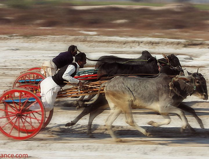 Fast and the Furious Bull Cart Race in Rural Punjab