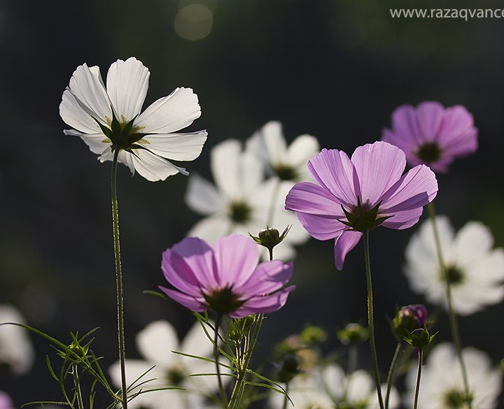 Splendid Beauty of Cosmos Flower in Spring Season