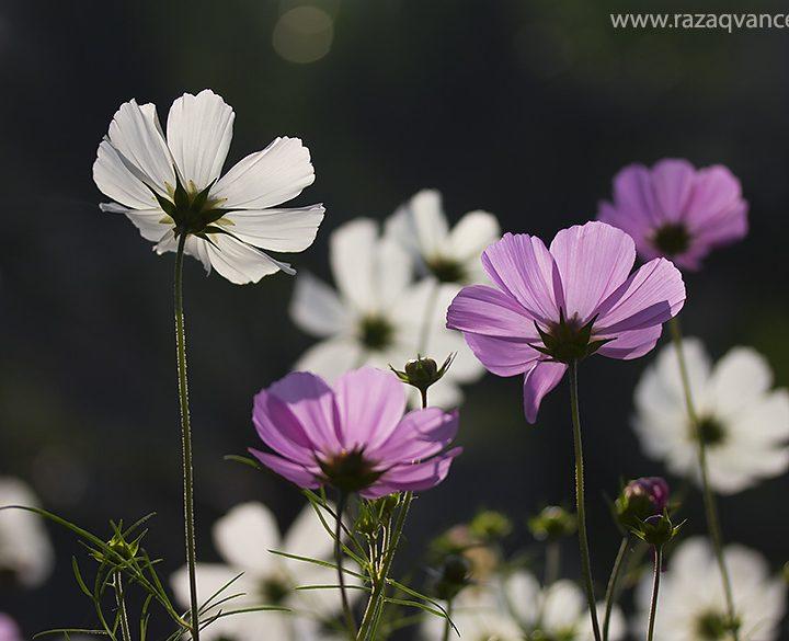 Splendid Beauty of Cosmos Flower in Spring Season