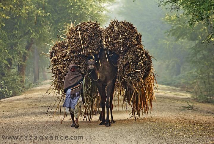Camel Caravan On The River Bank