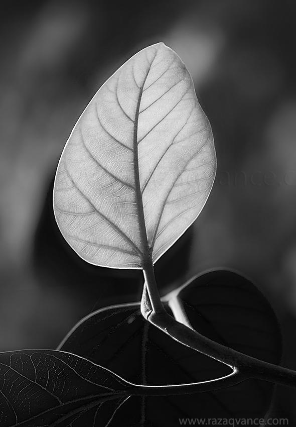 Leaf bud of fig tree