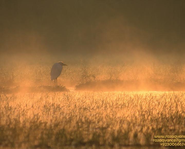 An Egret Basking In The MystIc Light Of Morning