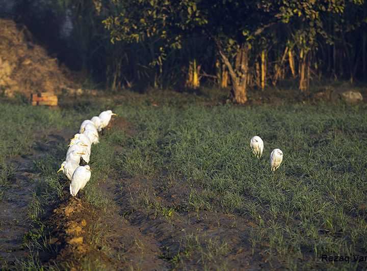 Cattle Egrets Basking in a Winter Morning