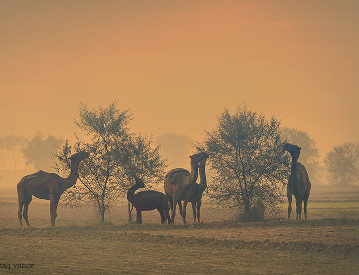 Camels Browsing in a Winter Morning with Warm Sun Light
